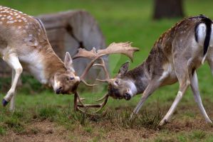 Sparring Fallow Deer by naturelens
