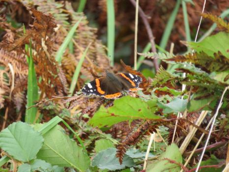 Red Admiral Butterfly by Tish-Underwood