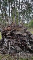 Old Gum Tree 9 by LuchareStock