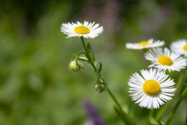 Wild daisies by Lola22