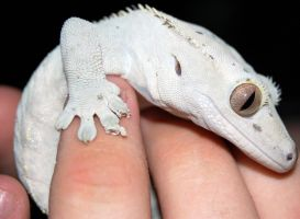 Crested Gecko II by Brouk