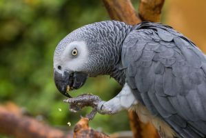 congo african grey parrot by davidst123