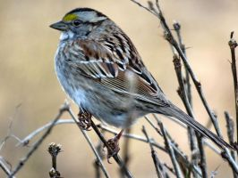 White throated sparrow by Nipntuck3