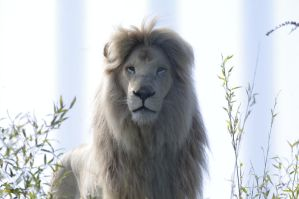 Casper the white lion 2 by LucySCreativeWork