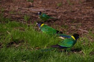 More Parakeets? by Nexst3r