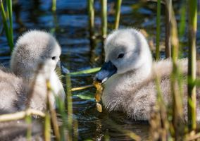 Day-old Cygnets (1) by Mincingyoda