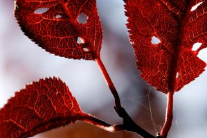 Red Leaves by SampleOfSoul
