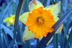 Daffodil by psimpson1