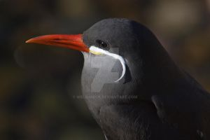Inca Tern by welshbeck