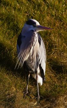 Grey Heron by DannyRoozen