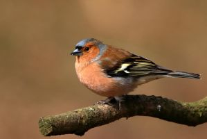 Chaffinch 6-4-18 by pell21