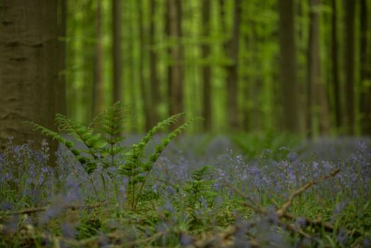 Blue Forest Hallerbos 004 by ISOStock