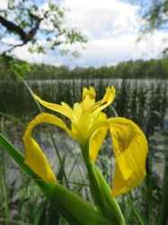 Yellow by Lake by musicalcat