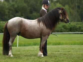 Welsh pony gelding by wakedeadman