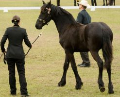 Partbred Friesian walk out by AmoretteRose