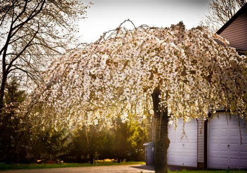 Light Blossoms by Duffis