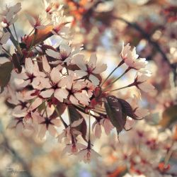 Cherry Blossoms by Pajunen