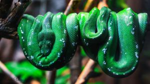 Morelia viridis (green tree python) by Nestule