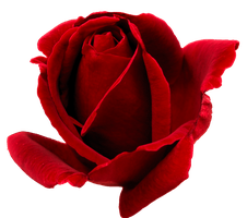 Red rosa PNG* by Ilenush