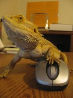 bearded dragon on the computer by lonewolf515