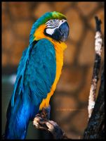 Macaw by FasterThanChris