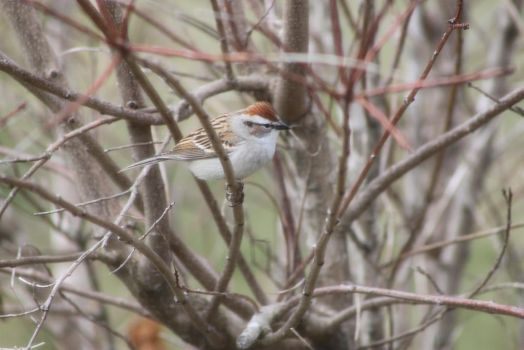 Chipping Sparrow by Lunarmoonlight