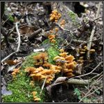 Winter Spotlight: Flammulina velutipes by Clu-art