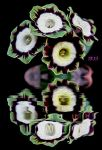 Auricula by Iris-cup