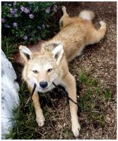 Red Coyote Soft Mount by Tricksters-Taxidermy