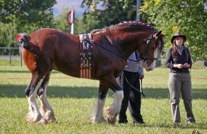 Clydesdale 4 by Sooty-Bunnie
