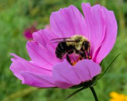 Nature's Beeper is Always Buzzing by CRG-Free