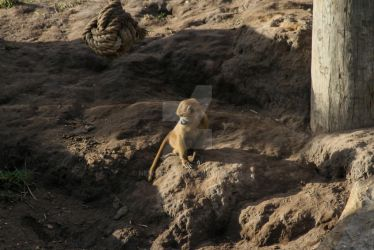 Baby baboon 2 by NEWSBOT3