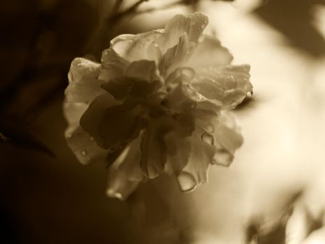 Sepia Rose 1 by horus-eire