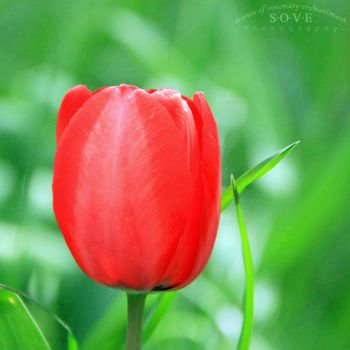 Tulip by SOVEPhotography