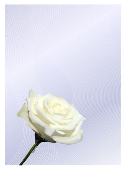 White Rose - Vector by Silver911