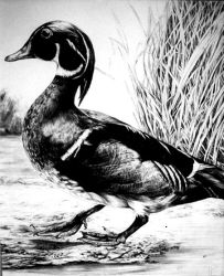 Wood Duck by Ravenhaven