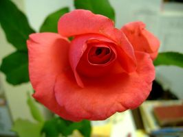 Red Rose by richardxthripp
