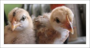 Chicks by MichelleMarie