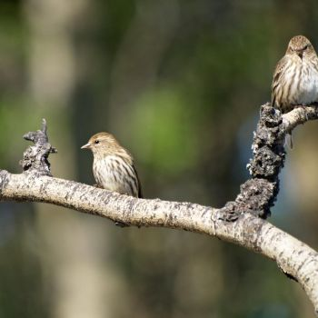 PINE SISKINS 1. by Kittihawk11