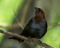 Brown-headed Cowbird - Strutting by JestePhotography