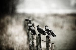 Crows II by sampok