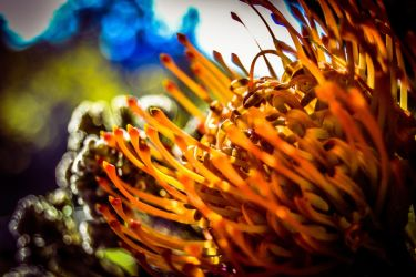 Protea in Sunlight by ItBazooka
