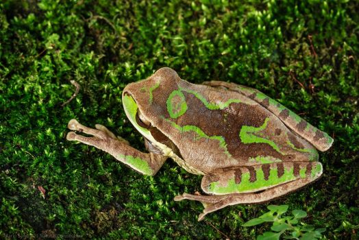 Masked Tree Frog (Smilisca phaeota) Detail by MCN22