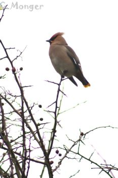Waxwing by Synn-M