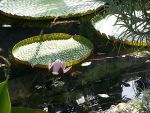 Lilly or Lotus by dainfort