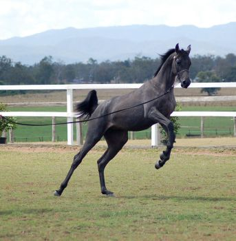 GE Arab filly grey leap rear to the right by Chunga-Stock