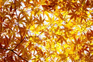Momiji Maple 2010 02 by theblindalley