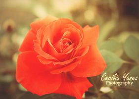 A Spring Rose by ceciliay