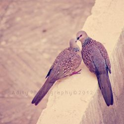 Dove in love by addy-ack