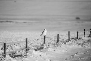 Snowy Owl 08 January 03 2017 by sgt-slaughter